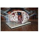 Zeer forse orgaanmodellen voor educatie & voorlichting - 3
